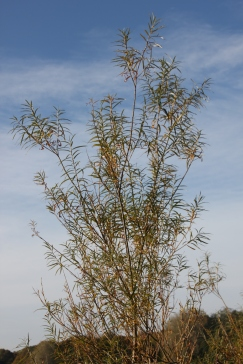 (Goat) Willow (Salix caprea)
