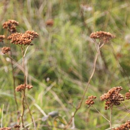 Yarrow seed. (Achillea millefollium)