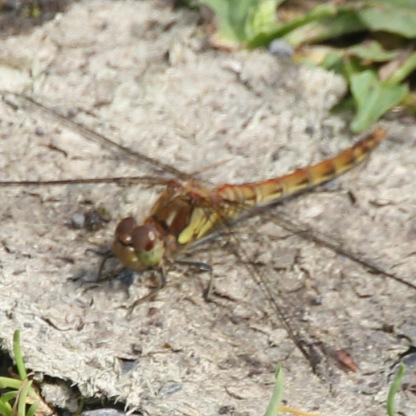 Yellow Chaser dragonfly (Libellula depressa)