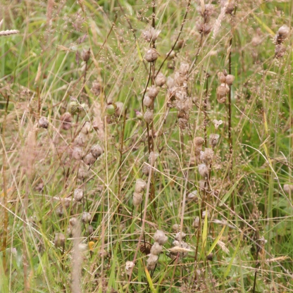 Yellow Rattle seed-heads (Rhinanthus minor)