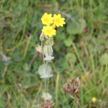 Yellow-wort (Blackstonia perfoliata)