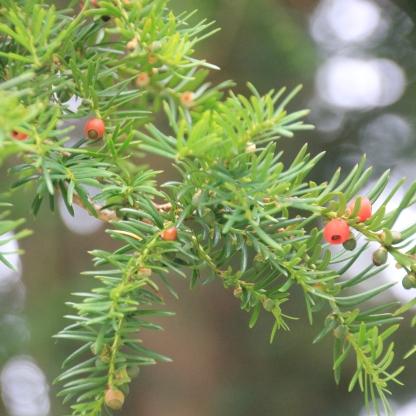 Yew berries (Taxus baccata)