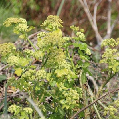 Alexanders (Smyrnium olusatrum)