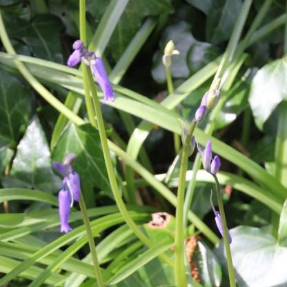 Bluebells (Scilla non-scripta)