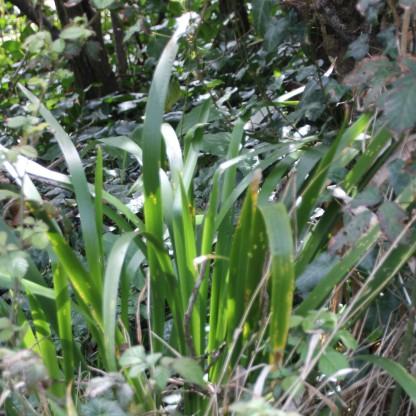 Stinking Iris (Iris foetidissima)
