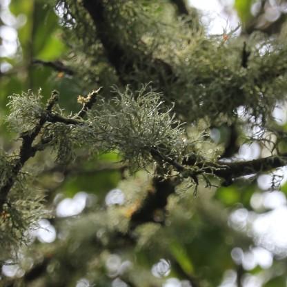 Parmeliaceae (lichen) (Usnea subfloridana)