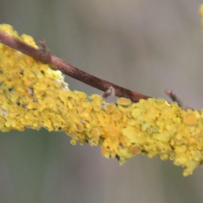 Teloschistaceae lichen (Xanthoria polycarpa)