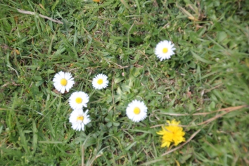 Daisies and Dandelions