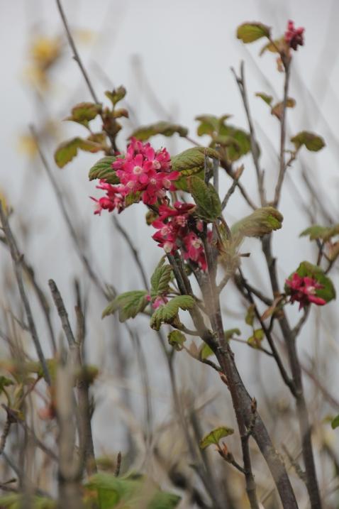 Flowering redcurrent (Ribes sanguineum)