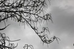 Oak Catkins (Quercus rubra)