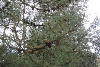 Pines (Pinus species)