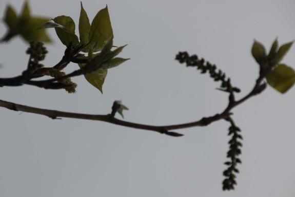 Poplar (Populus nigra ssp.betulifolia)