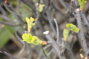 Japenese rose (Rosa rugosa)
