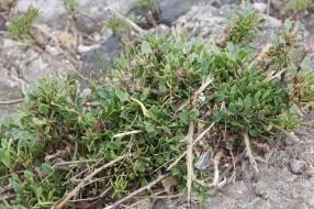 Sea Lavender (Limonium vulgare)
