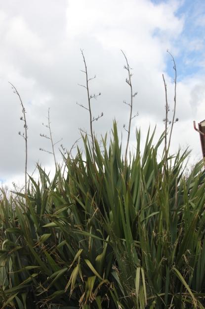 Yuccas (Adam's Needle) (Yucca filamentosa)