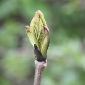 Ash (Fraxinus excelsior) bud