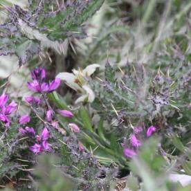 Bell heather (Erica cinerea)