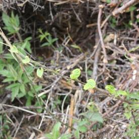 Hedge Bindweed (Calystegia sepium