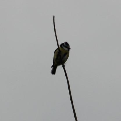 Blue-tit (Cyanistes caeruleus)