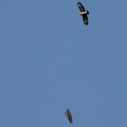 Buzzards (Buteo buteo)