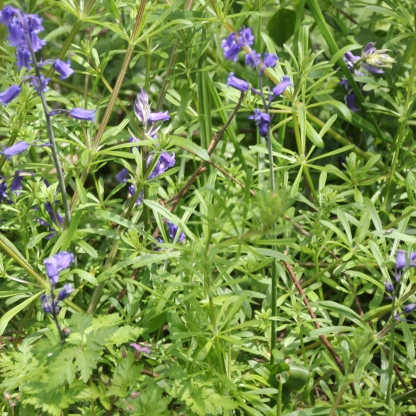 Clevers and Bluebells