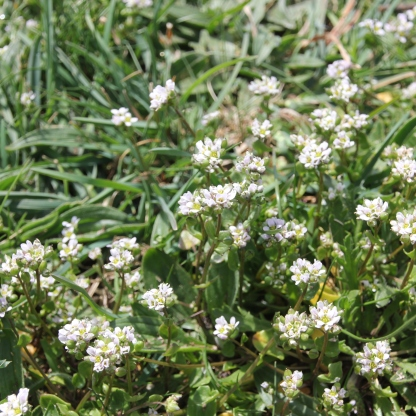 Common Scurvy-grass (Cochlearia offinalis)