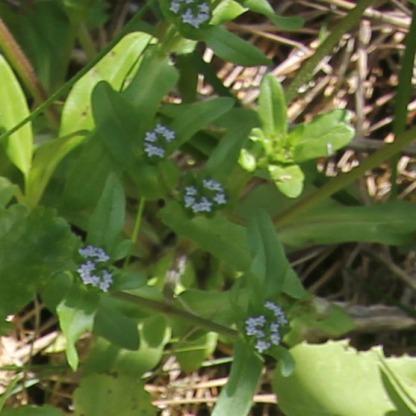 Cornsalad (Common) (Valarianella locusta)