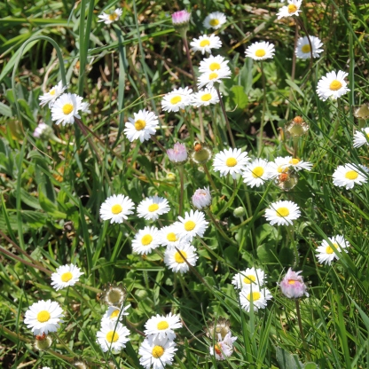 Daisies (Bellis perennis)