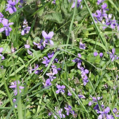 Dog-violet (Viola riviniana)