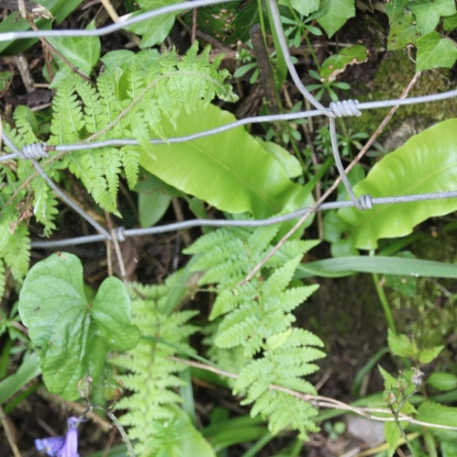 Male and Hart's-tongue ferns