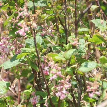 Flowering redcurrent bush (Ribes sanguineum)