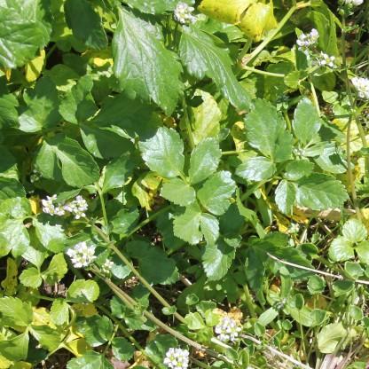 Fool's Watercress (Apium nodiflorum)