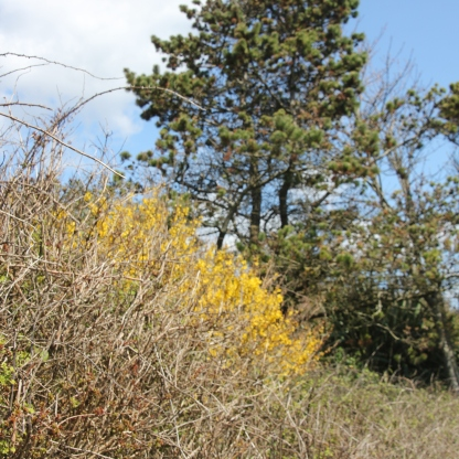 Forsythia and Pine