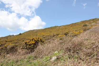 Gorse covered hillside