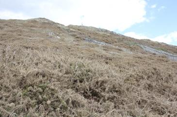 Gorse hillside
