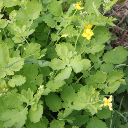 Greater Celandine (Chelidonium majus)