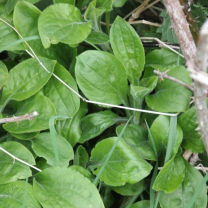 Greater Plantain (Plantago major)