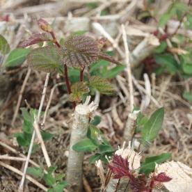Hazel (Corylus avellana) re-growth
