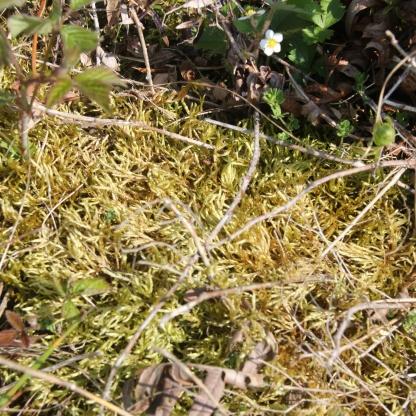 Heath Plait-moss (Hypnum jutlandicum)