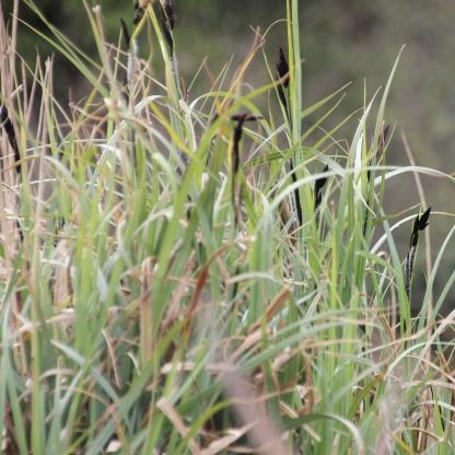 Lesser Pond-sedge (Carex acutiformis)