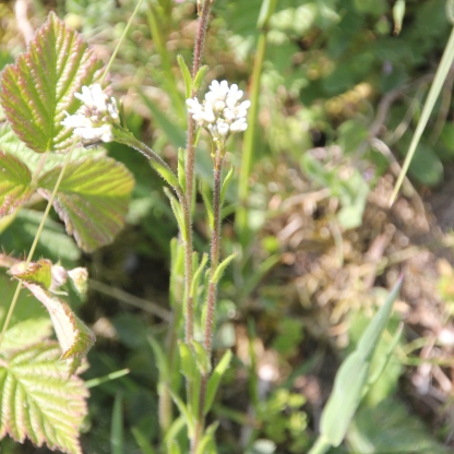 Common Marsh-bedstraw (Galium palustre)