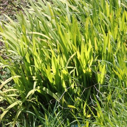 Monbretia (Crocosmia aurea)
