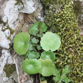 Navelwort (Umbilicus rupestris