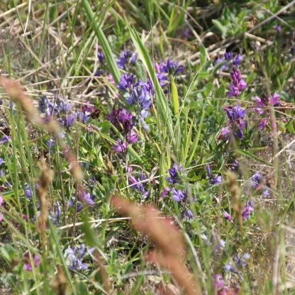 Pink and Purple Milkwort