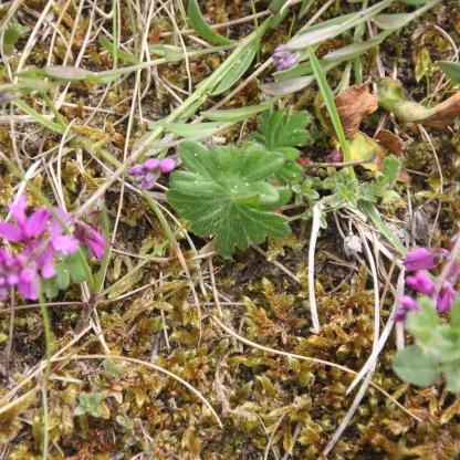 Pink Common Milkwort (Polygala vulgaris)