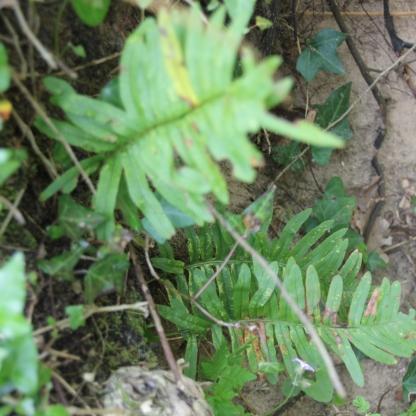 Polyploidy fern (Polypodium vulgare)