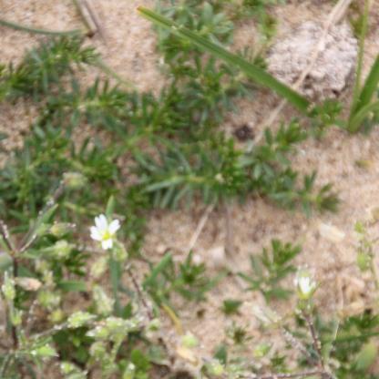 Prickly Saltwort (Salsola kali)