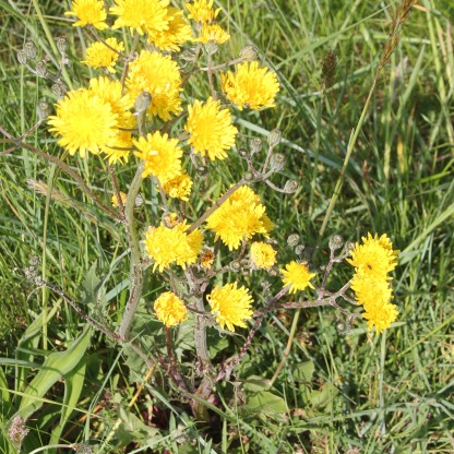 Prickly Sow-thistle (Sonchus asper)