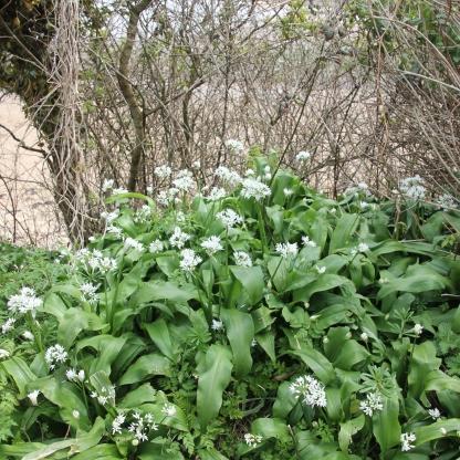 Ramsoms (Allium ursinum)
