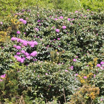 Rhododendron (Rhododendron ferrugineum)